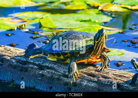 Western Painted Turtle Chrysemys picta Green Lily Pads Juanita Bay Park Lake Washington Kirkland Washiington. - Stock Photo