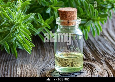A bottle of mountain savory essential oil with fresh Satureja montana. - Stock Photo
