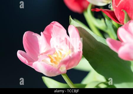 Colorful tulip flowers in the morning sun, the Netherlands. - Stock Photo