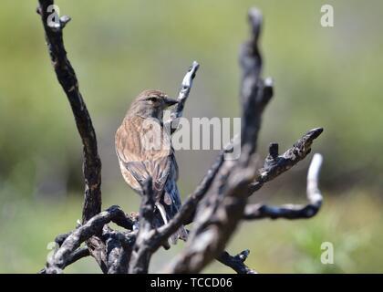 Common Linnet - Linaria cannabina, Greece