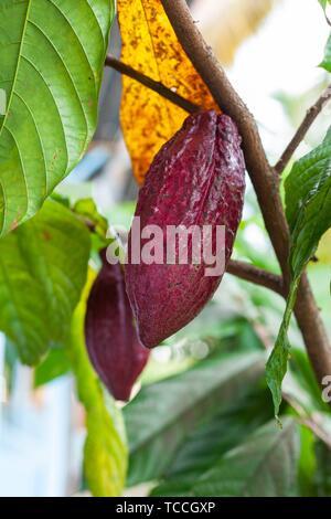 Trinitario cocoa (Theobroma cacao) pods on Sumatra, Indonesia.