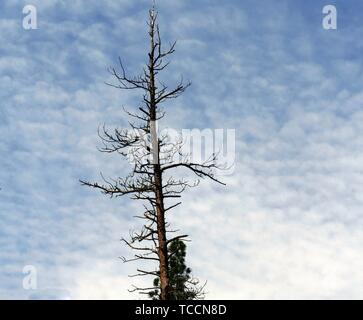 Leafless top part of a tall pine tree, with gorgeous skies in the background - Stock Photo