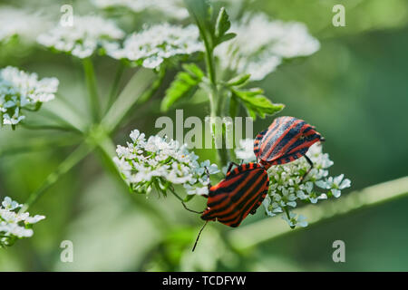 two Italian striped bugs are mating on a wild chervil flower - Stock Photo