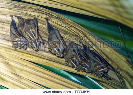 Tent-making Bat roosting in a palm frond, taken in Costa Rica - Stock Photo