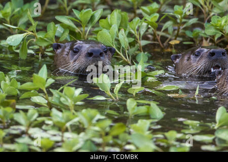 river otters popping head out of water. - Stock Photo