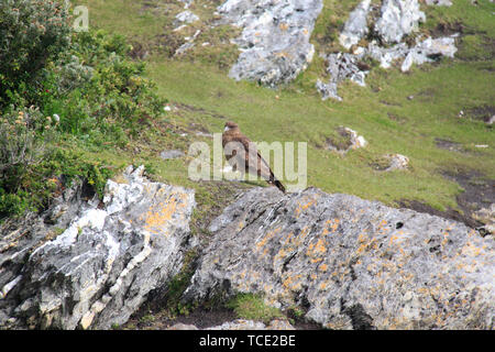 Chimango caracara (Milvago chimango), Tierra del Fuego National Park, Patagonia, Argentina - Stock Photo