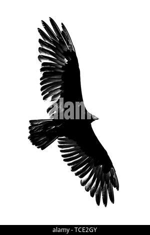 Turkey Vulture wings spread soaring - Stock Photo