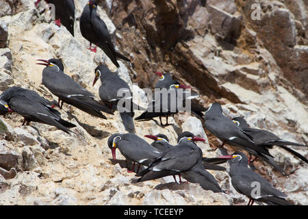Many Black Inca Terns with red bill, Peru. Inca Tern, Larosterna inca, birds in paracas conservation area on Peruvian coast. Birds in the nature sea f - Stock Photo