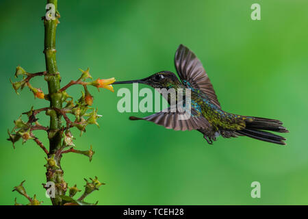 A male Magnificent Hummingbird, Eugenes fulgens, feeds on a tropical Rubiaceae flower in Costa Rica. - Stock Photo