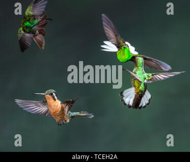A female female Purple-throated Mountain-gem Hummingbird, Lamporis calolaemus, flies to a nearby feeder while other hummingbirds face off against each - Stock Photo