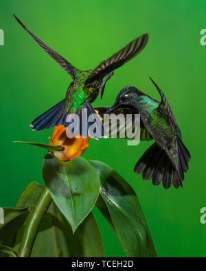 Territorial competition between a male Magnificent Hummingbird,  Eugenes fulgens, at right, and a female Green-crowned Brilliant Hummingbird, Heliodox - Stock Photo