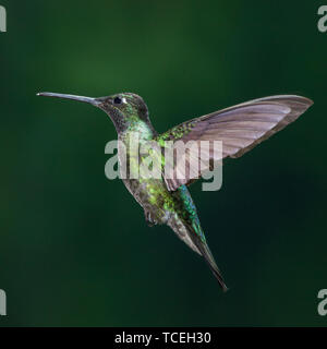 A male Magnificent Hummingbird, Eugenes fulgens, photographed in flight with high-speed flash to stop the motion.  Costa Rica. - Stock Photo
