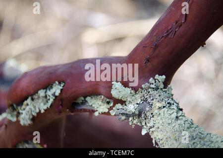 green lichen grows on red manzanita tree bark. - Stock Photo