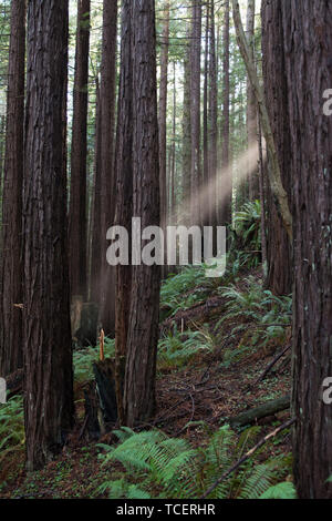 View of sunbeam penetrating foliage of coniferous trees in tranquil green forest - Stock Photo
