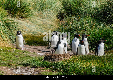 Rockhopper Penguins on Westpoint Island - Stock Photo