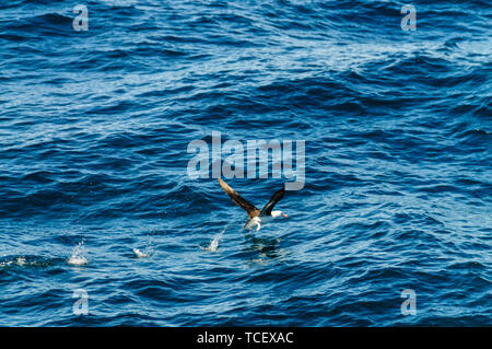 A Black-Browed Albatross taking off from the water. - Stock Photo
