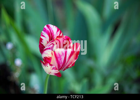 one blooming motley bright pink tulip with white veins on a flower bed - Stock Photo