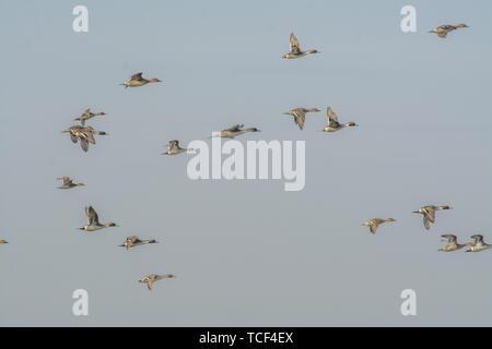 Side view of flock of wild ducks flying in blue sky insunlight - Stock Photo