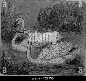 Engraved drawing of two Mute Swans (Cygnus olor), male and female, from the book 'Little folks in feathers and fur' by Olive Thorne, 1875. Courtesy Internet Archive. () - Stock Photo