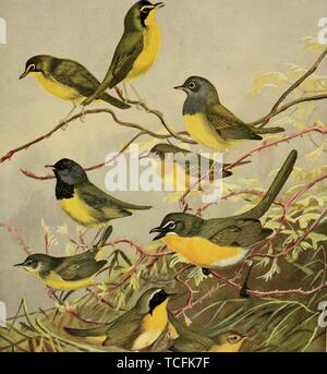 Engraved drawing of the Warblers, Kentucky Warbler (Geothlypis formosa), Connecticut Warbler (Oporornis agilis), Mourning Warbler (Geothlypis philadelphia), Yellow-breasted Chat (Icteria virens), Maryland Yellowthroat (Geothlypis trichas), from the book 'Birds of Massachusetts and other New England states' by Edward Howe Forbush, 1925. Courtesy Internet Archive. () - Stock Photo