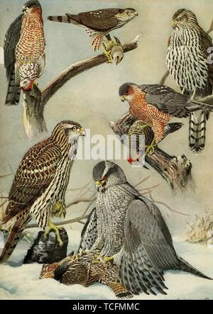 Engraved drawings of the Hawks, Sharp-shinned Hawk (Accipiter striatus), Cooper's Hawk (Accipiter cooperii) and Northern Goshawk (Accipiter gentilis), from the book 'Birds of Massachusetts and other New England states' by Edward Howe Forbush, 1925. Courtesy Internet Archive. () - Stock Photo