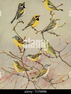 Engraved drawings of the Warblers, Golden-winged Warbler (Vermivora chrysoptera), Blue-winged Warbler (Vermivora cyanoptera), Lawrence's Warbler (Vermivora cyanoptera), Brewster's Warbler (Vermivora leucobronchialis), Nashville Warbler (Oreothlypis ruficapilla), Orange-crowned Warbler (Oreothlypis celata), and Tennessee Warbler (Oreothlypis peregrina), from the book 'Birds of Massachusetts and other New England states' by Edward Howe Forbush, 1925. Courtesy Internet Archive. () - Stock Photo