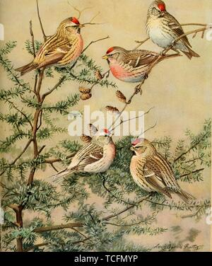 Engraved drawings of the Redpolls, Common Redpoll (Acanthis flammea), Arctic Redpoll (Acanthis hornemanni), Hoary Redpoll (Acanthis hornemanni), and Greater Redpoll (Acanthis flammea rostrata), from the book 'Birds of Massachusetts and other New England states' by Edward Howe Forbush, 1925. Courtesy Internet Archive. () - Stock Photo