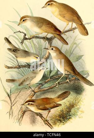 Engraved drawings of the Warblers, Radde's Warbler (Phylloscopus schwarzi), Plain Leaf Warbler (Phylloscopus neglectus), Brown Bush Warbler (Locustella luteoventris), and Black-browed Reed Warbler (Acrocephalus bistrigiceps), from the book 'Ornithographia Rossica' by Feodor Dmitrievich Pleske, 1825. Courtesy Internet Archive. () - Stock Photo