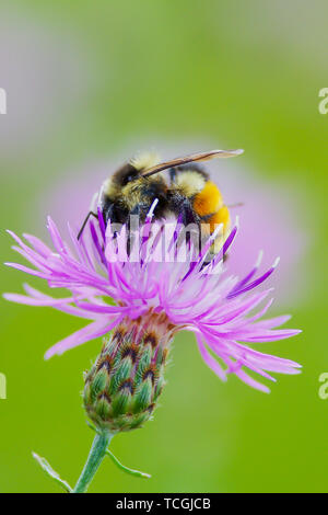 Tricolored bumble bee on purple flower at the Crex Meadows Wildlife Area in Wisconsin - Stock Photo