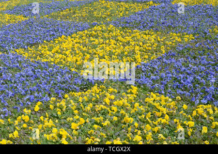 Beautiful violet and yellow pansies in the spring garden. Vivid pansy flowers at the flowerbeds in ukrainian colors. Flower summer background. Spring  - Stock Photo