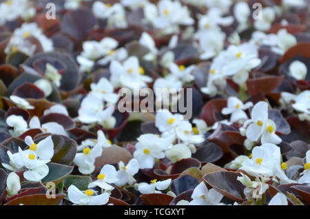 White Begonia cucullata also known as wax begonia and clubed begonia. Field with small white flowers garden close up - Stock Photo