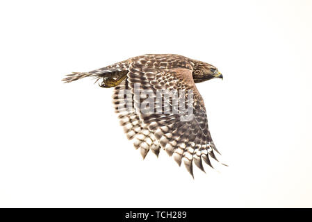 Soaring through the air a Red Shouldered Hawk flapping its wings lower stroke. - Stock Photo