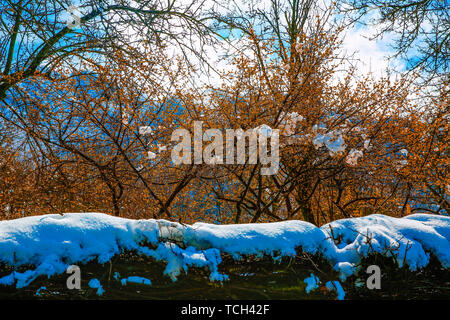 The grapefruit blossomed and leafed, and it was snowing on it . Beautiful cherry blossoms on a branch with snow on them .Azerbaijan is Bashdagaygil vi - Stock Photo