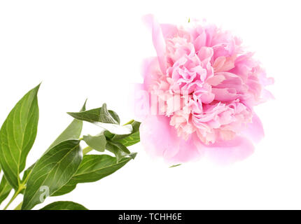 Pink peony isolated on white - Stock Photo