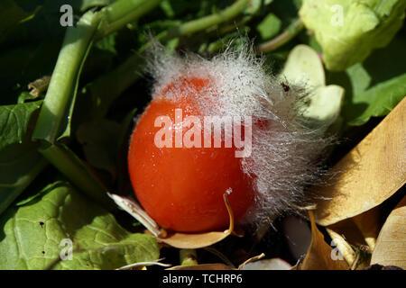 Gießkannenschimmel (Aspergillus spec.) auf einer Tomate Stock Photo