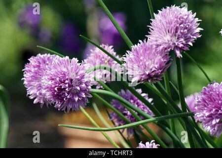 blühender Schnittlauch (Allium schoenoprasum) - Stock Photo