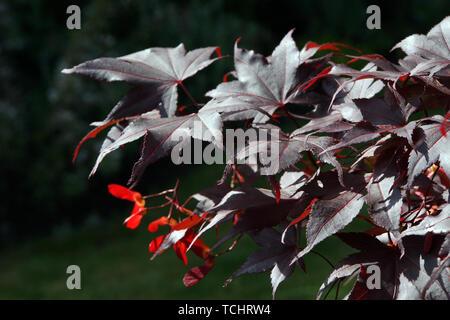 Japanischer Ahorn (Acer japonicum) - Blätter und Früchte - Stock Photo