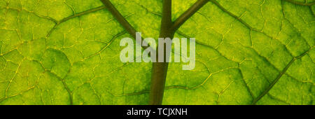 capillaries of green rhubarb foliage, autumn season. Web banner for your design. - Stock Photo