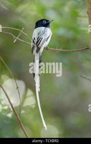 Malagasy paradise flycatcher (Terpsiphone mutata), male on twig, Berenty Private Reserve, Madagaskar - Stock Photo