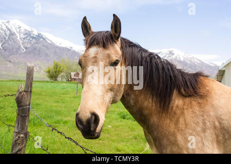 Close up of a brown horse with black mane beside a barbed wire fence - Stock Photo