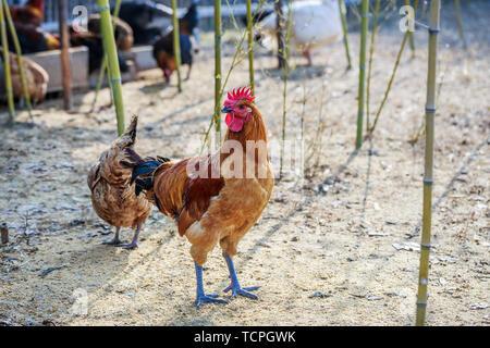 Free-range farm chickens. - Stock Photo