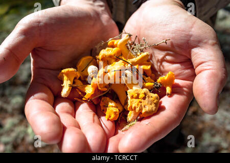 Few picked up yellow Craterellus lutescens foot chanterelle mushrooms fungus in hands - Stock Photo