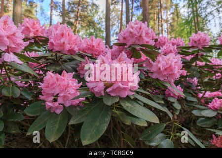 Pink rhododendron, lush bloom in the nursery of rhododenrons. - Stock Photo