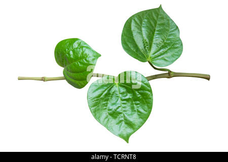 Wildbetal Leafbush (Piper sarmentosum Roxb.) isolated on white background with clipping path - Stock Photo