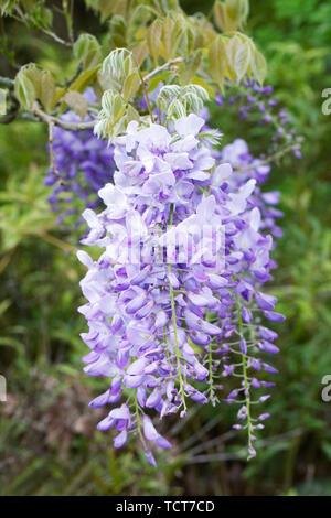 Wisteria sinensis 'Prolific' flower. - Stock Photo