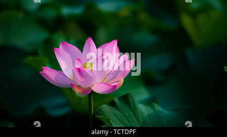 Lotus blooming in the lotus leaves in - Stock Photo