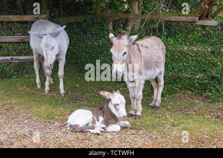 Near Frogham, New Forest, Hampshire, UK. 10th June 2019. UK weather: donkeys seek shelter in heavy rain in the New Forest National Park, Hampshire.  Credit: Carolyn Jenkins/Alamy Live News - Stock Photo