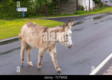 Godshill Near Frogham, New Forest, Hampshire, UK. 10th June 2019. UK weather: donkey crosses the road looking for shelter in heavy rain in the New Forest National Park, Hampshire.  Credit: Carolyn Jenkins/Alamy Live News - Stock Photo