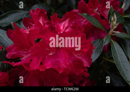 Beautiful vibrant pink Rhododendron bush in full bloom close up showing the intricate detail of the flower, nobody in the image - Stock Photo