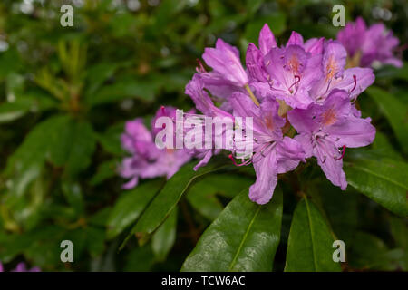 Beautiful bright pink Rhododendron bush in full bloom close up showing the intricate detail of the flower, nobody in the image - Stock Photo